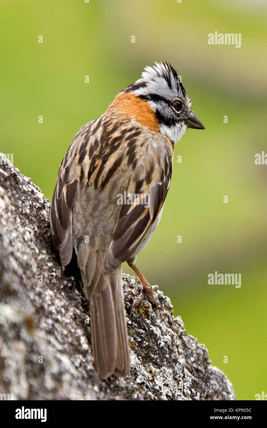 The Rufous-collared Sparrow - Zonotrichia capensis - photographed at Machu Picchu in Peru. - Stock Image