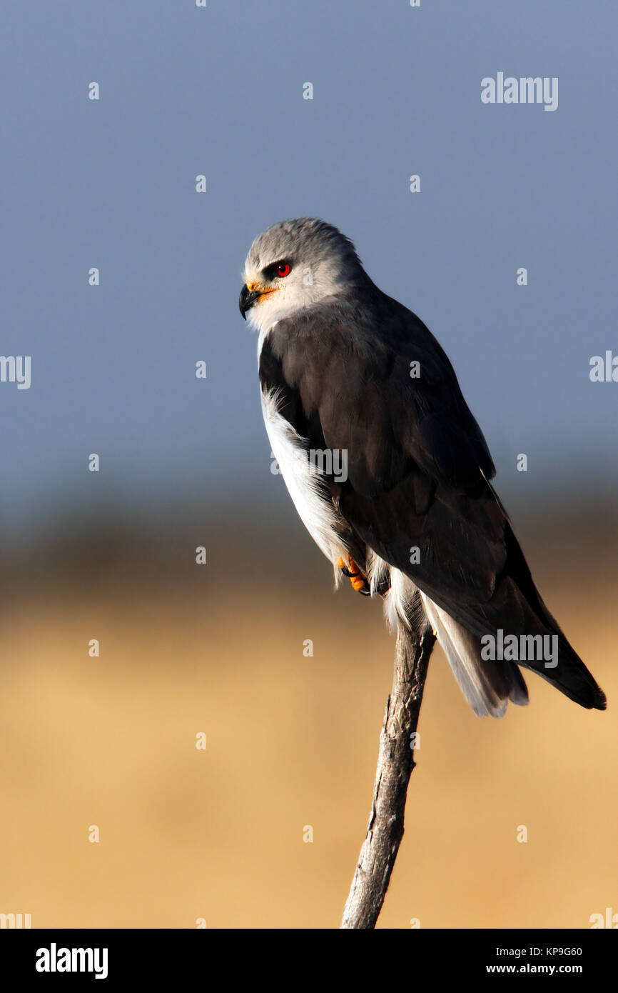 Black-shouldered Kite (Elanus caeruleus) in Etosha National Park in Namibia. - Stock Image