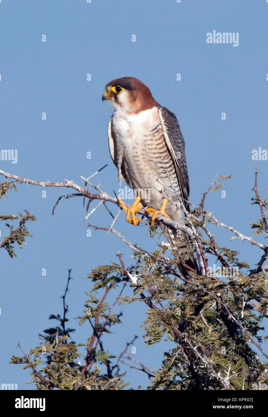 A young African Goshawk (Accipiter tachiro) in the Chobe River region of Botswana. - Stock Image