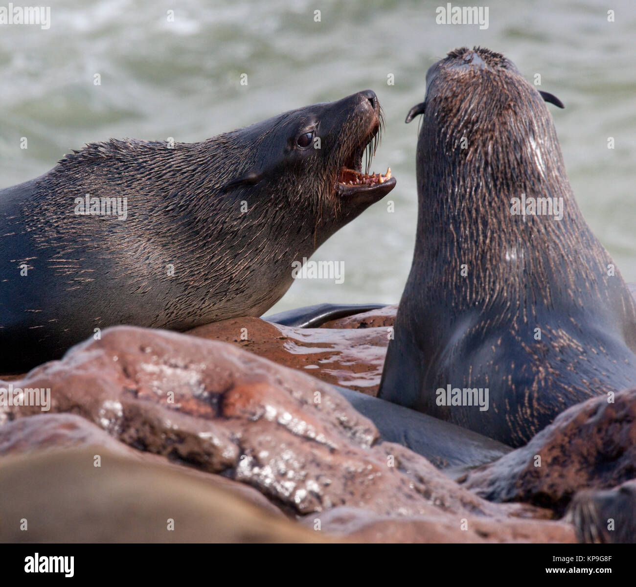 Cape Fur Seals (Arctocephalus pusillus) at Cape Cross on the coast of Namibia. - Stock Image