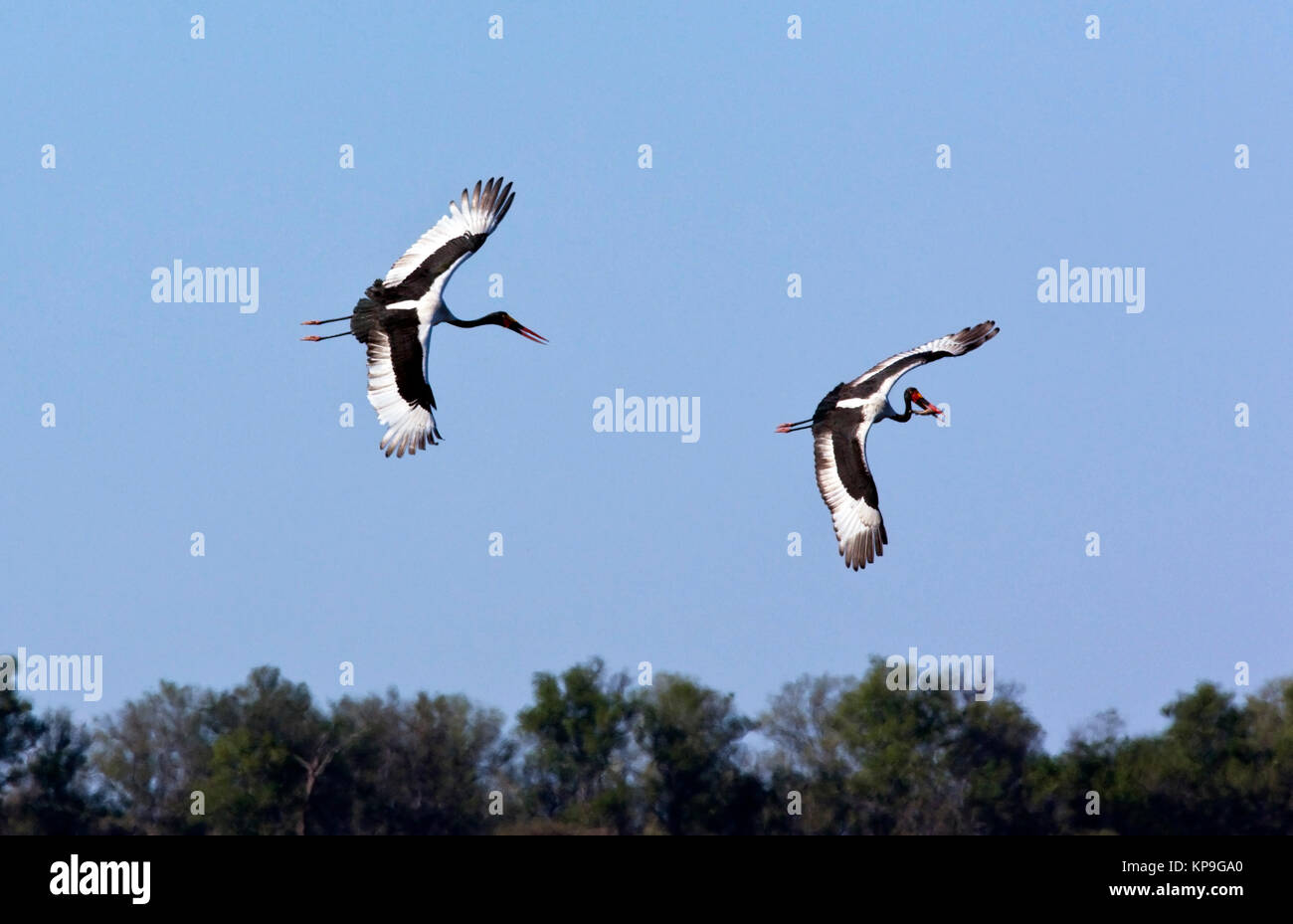 Two Saddle-billed Storks (Ephippiorhynchus senegalansis) in a newly flooded area of the Savuti region of Botswana. - Stock Image