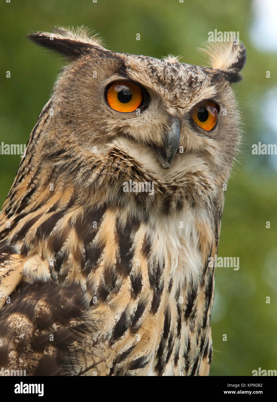 A European Eagle Owl (Bubo bubo) in the Highlands of northern Scotland. - Stock Image