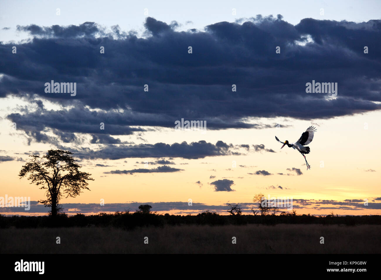 A Saddle-billed Stork (Ephippiorhynchus senegalansis) at dusk in the Savuti Region of Botswana - Stock Image