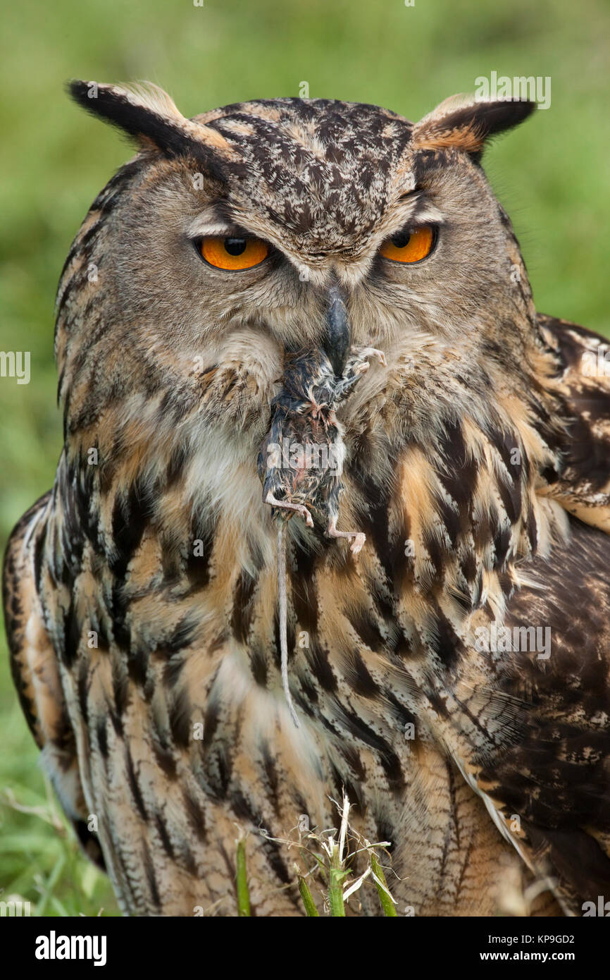 European Eagle Owl (Buba bubo) eating a field mouse in the Scottish Highlands. - Stock Image