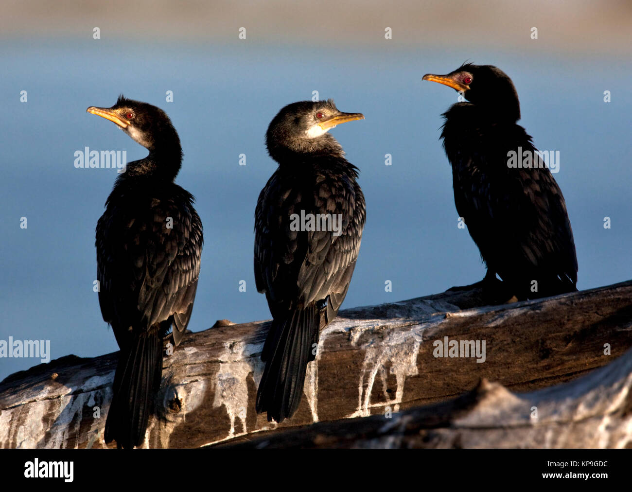 Reed Cormorant (Phalacrocorax africanus) on the Chobe River in Botswana - Stock Image