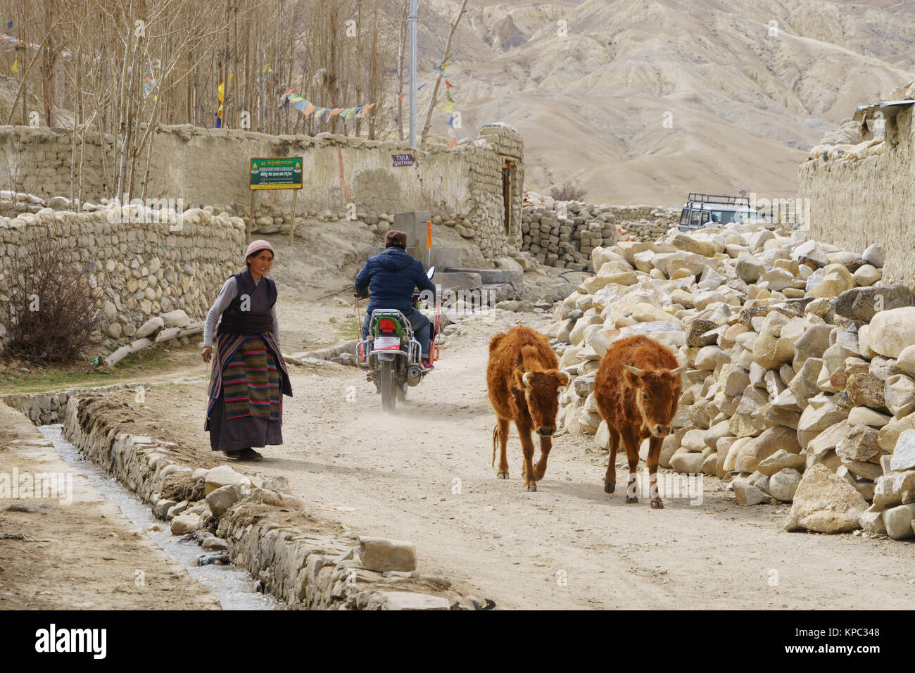 tibetan-woman-leading-two-cows-in-the-du