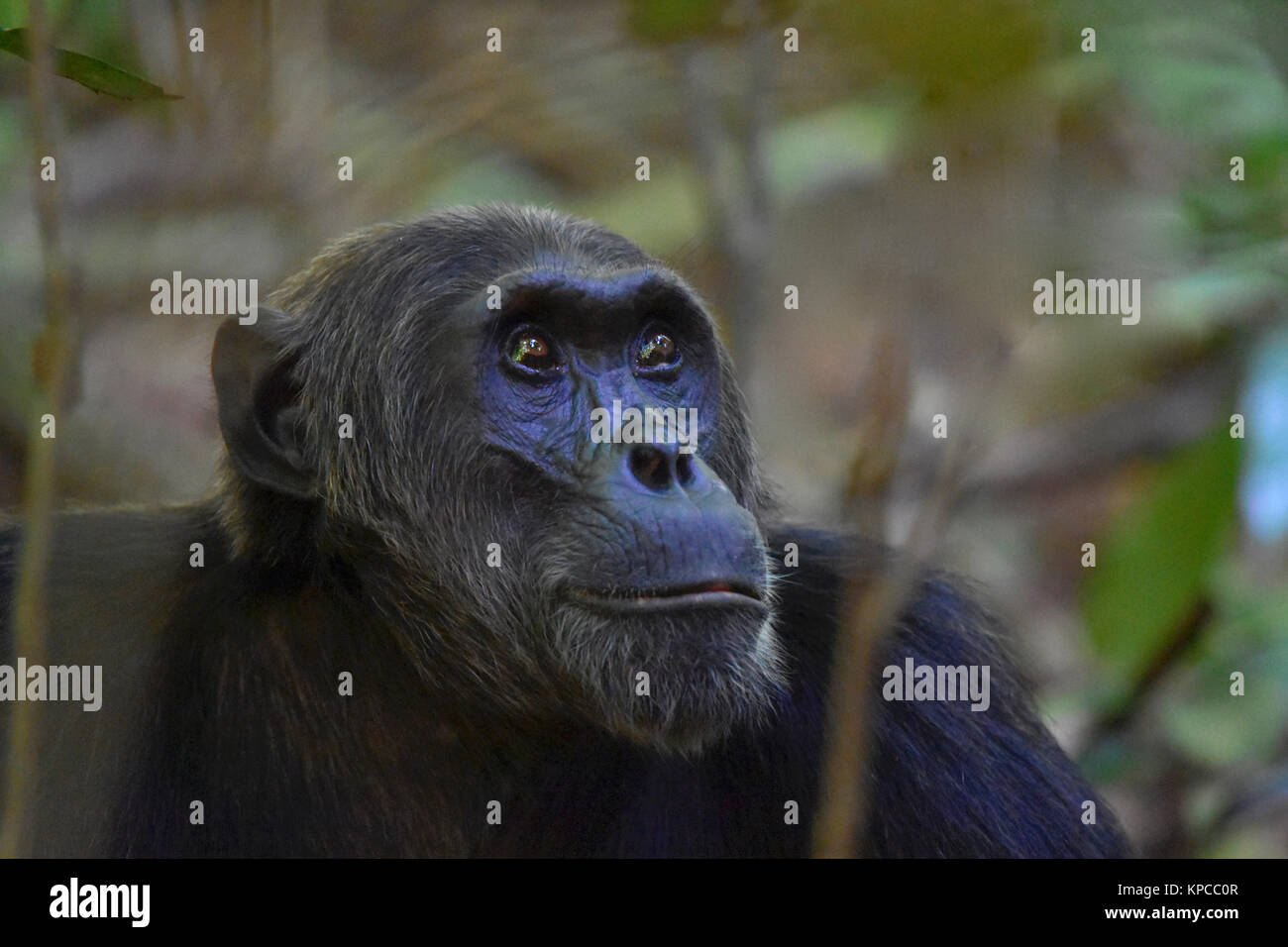 Chimpanzee in Bugondo forest, Murchison Falls National Park. - Stock Image