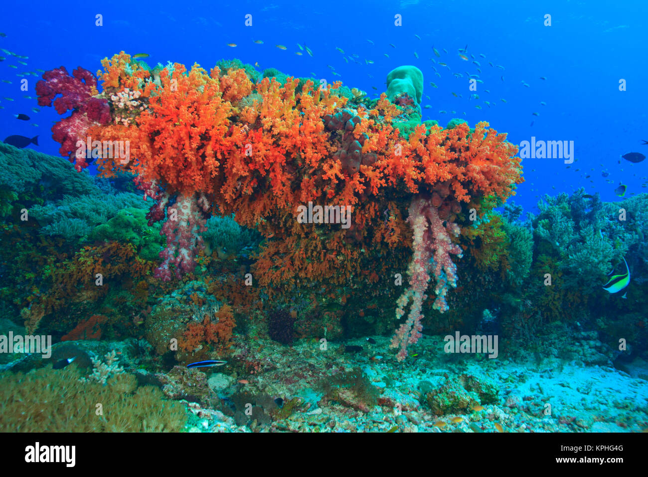 Profuse and colorful soft corals (Dendronepthya sp.)  Raja Ampat region of Papua (formerly Irian Jaya) - Stock Image