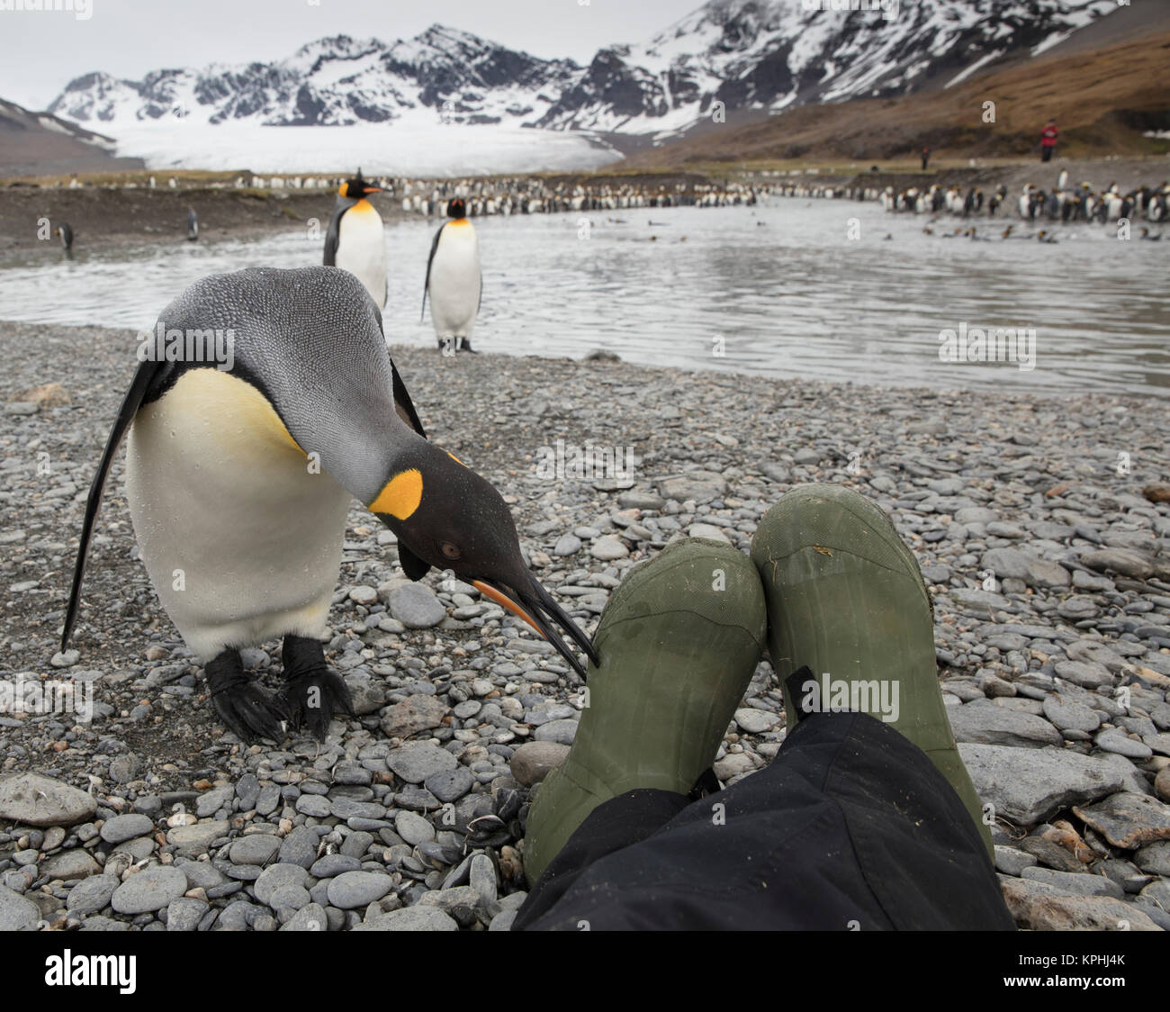 Fearless, curious king penguin checks out the photographer's boots at St Andrews Bay, South Georgia Island - Stock Image