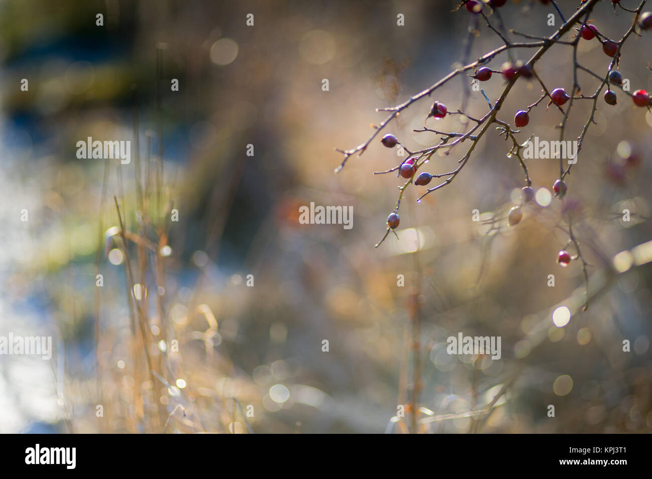 The sun warms up the rose hips after a cold winter night. - Stock Image