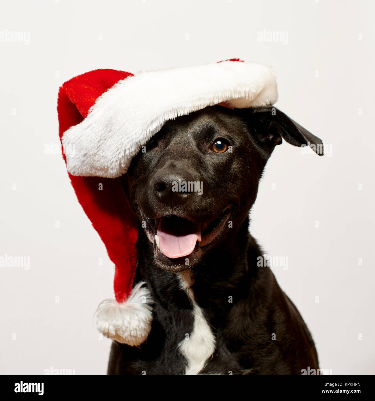 Dog close up wearing Santa Hat - Stock Image