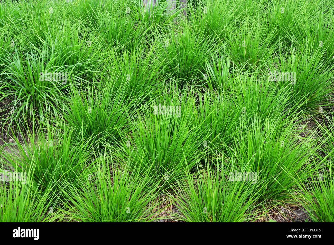 Manure garden stock photos manure garden stock images for Green ornamental grass