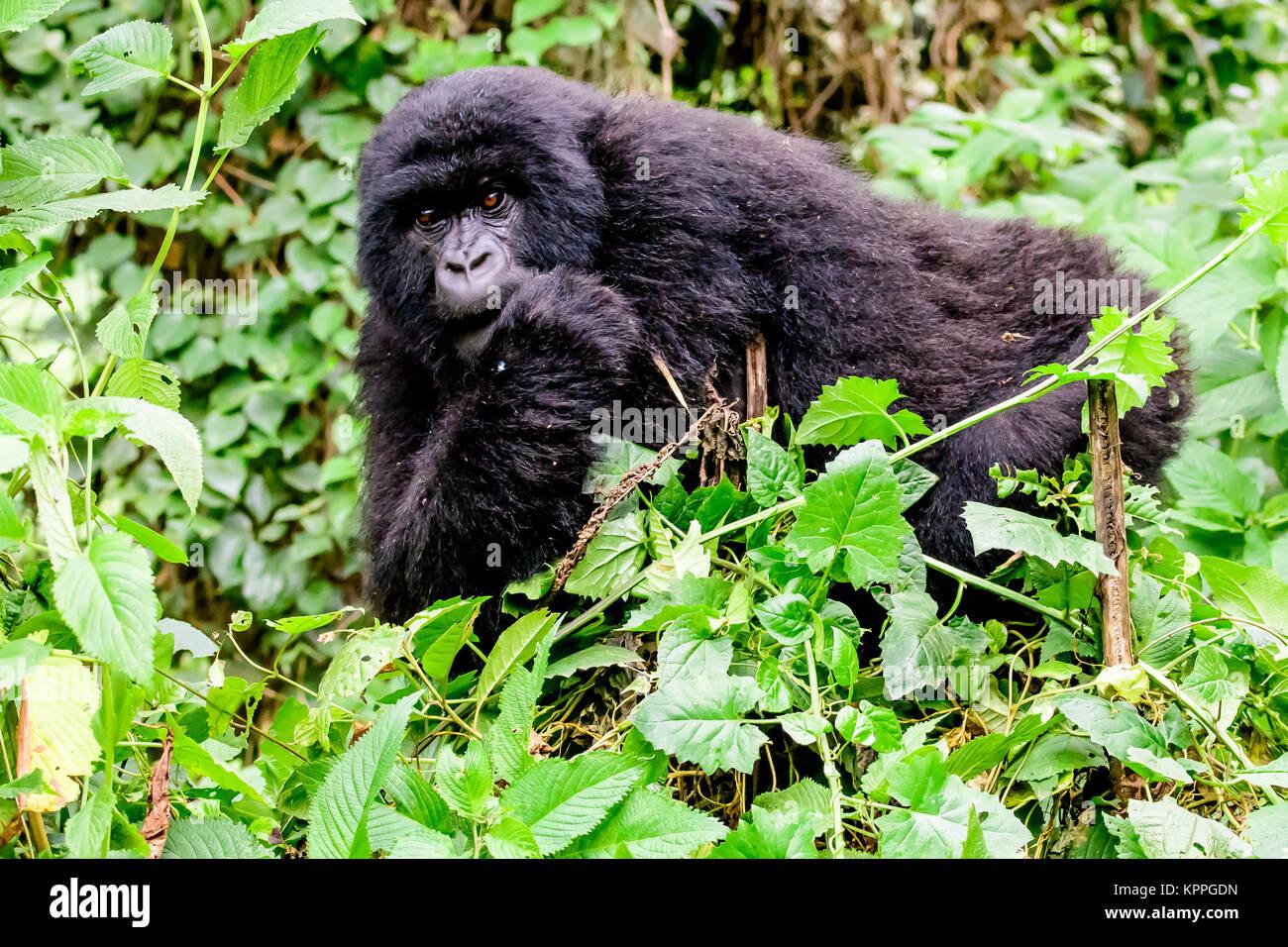 Mountain gorilla peering - Stock Image