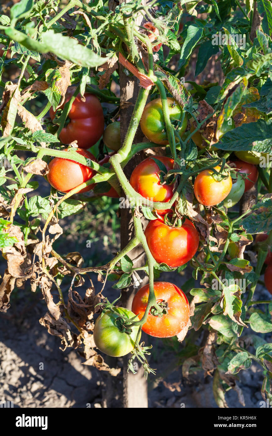 Natural Disaster Tomato