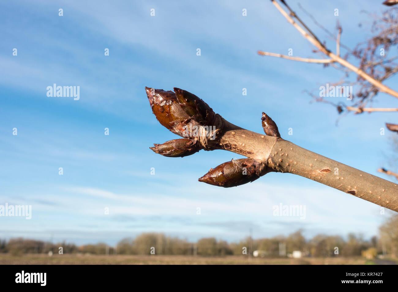 sticky-buds-of-horse-chestnut-tree-KR742