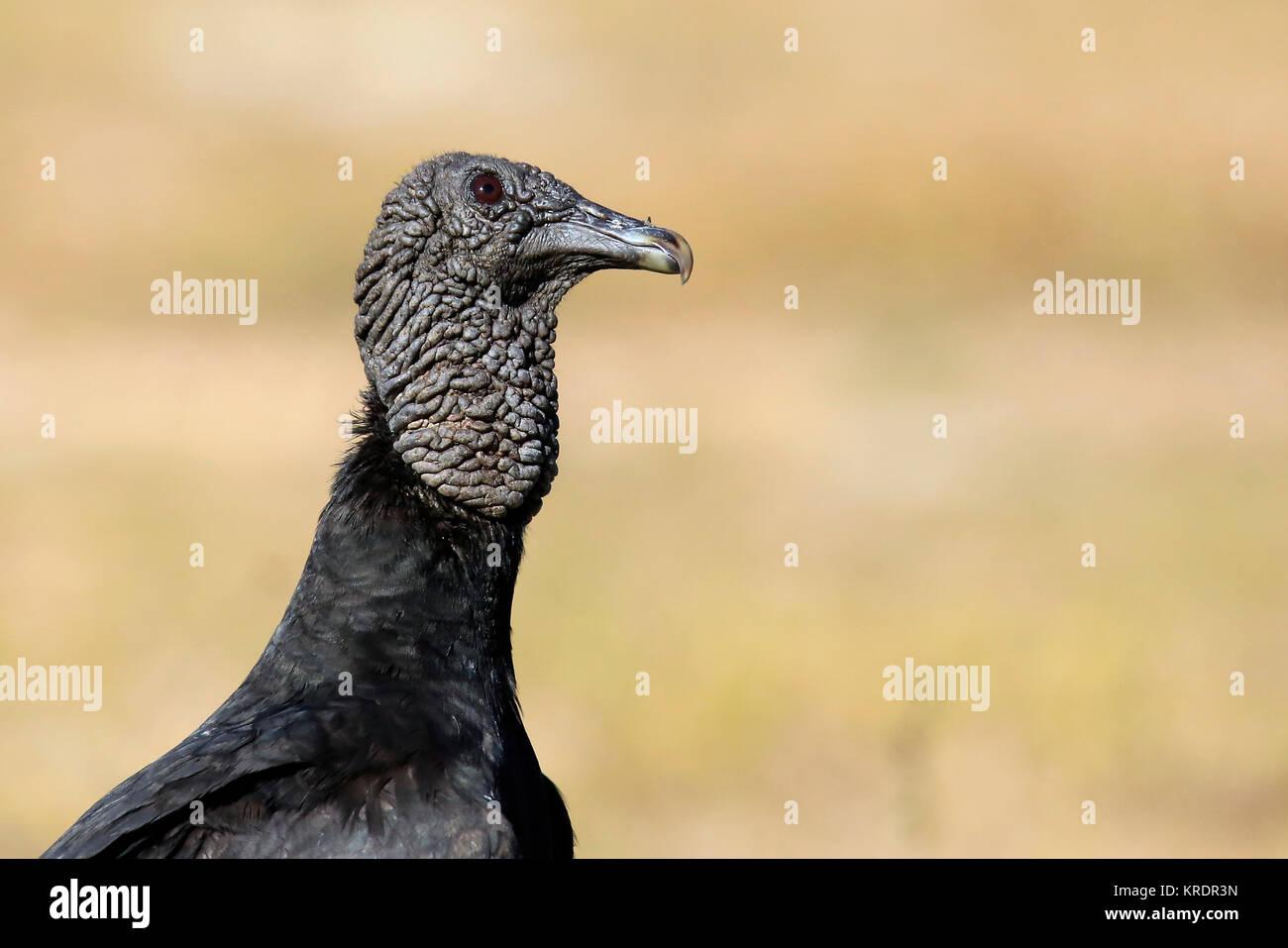 Black Vulture in Rio Claro. Pantanal, Brazil - Stock Image