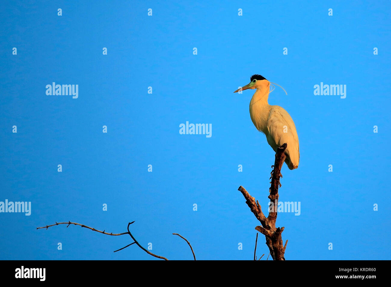 Capped Heron in Top of a Tree, in Twilight. Rio Claro, Pantanal, Brazil - Stock Image