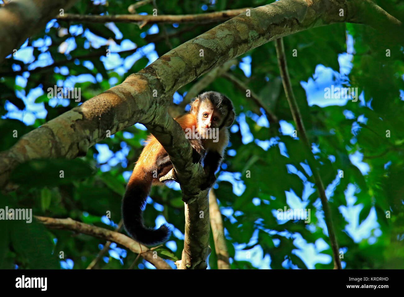Young Tufted Capuchin Monkey Looking down from a Branch. Amazon Rainforest, Brazil - Stock Image