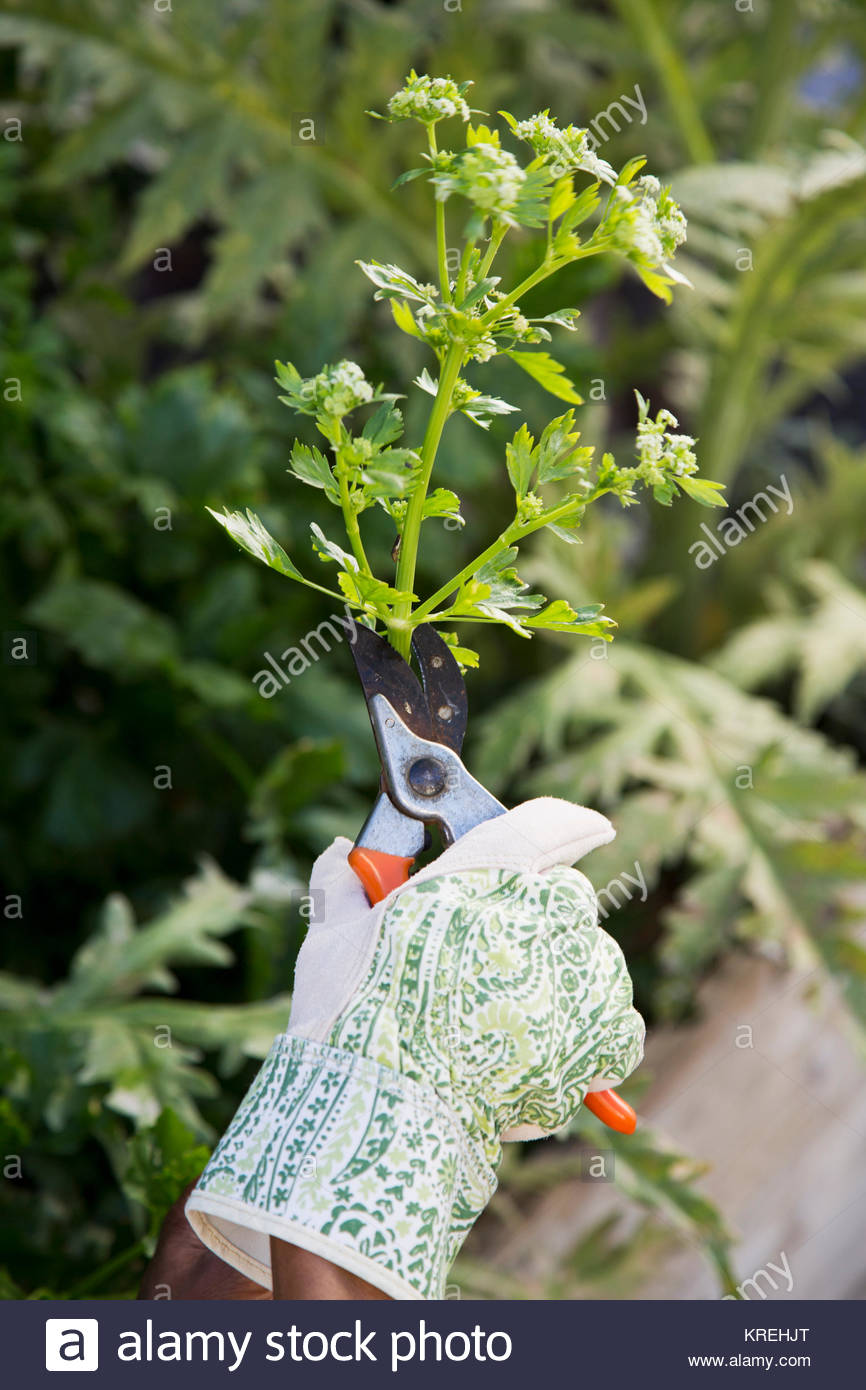 Hand of Black woman using pruning shears in garden - Stock Image