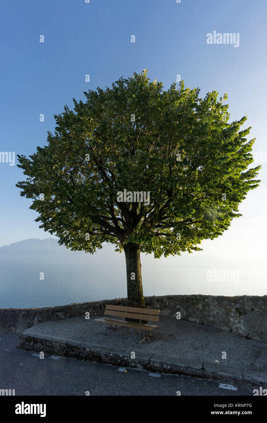 Tree , Rivaz,  Lavaux region, Lake Geneva, Swiss Alps,  Switzerland - Stock Image