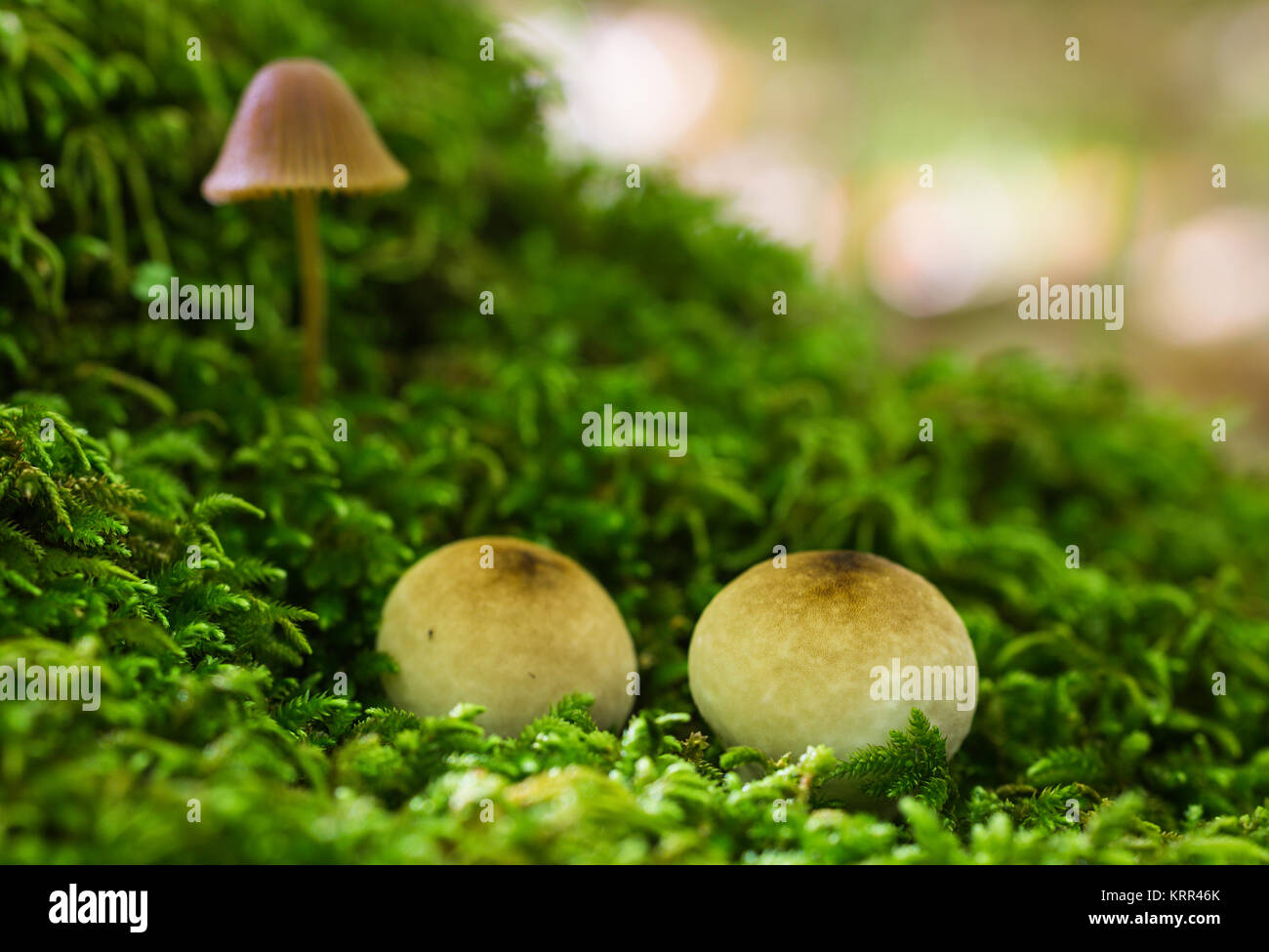 Hongo Stock Photos Amp Hongo Stock Images Alamy