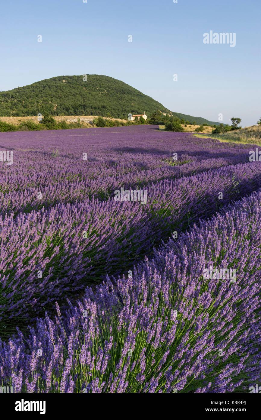 Lavender field , Chapel, Montagne de Lure,  Vaucluse,   Alpes-de-Haute-Provence, landscape,  Provence, France - Stock Image