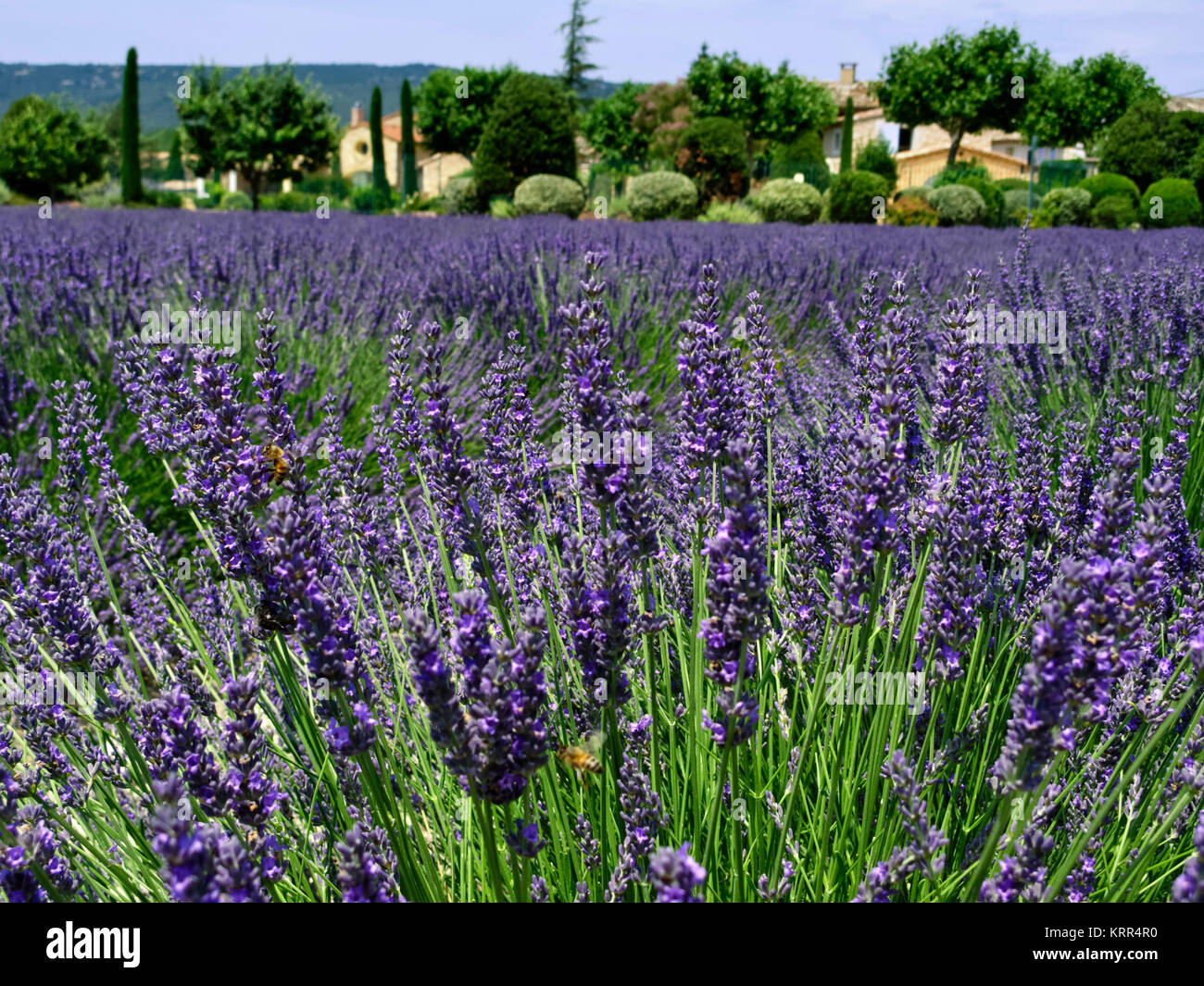 Lavender field , Provence, France - Stock Image