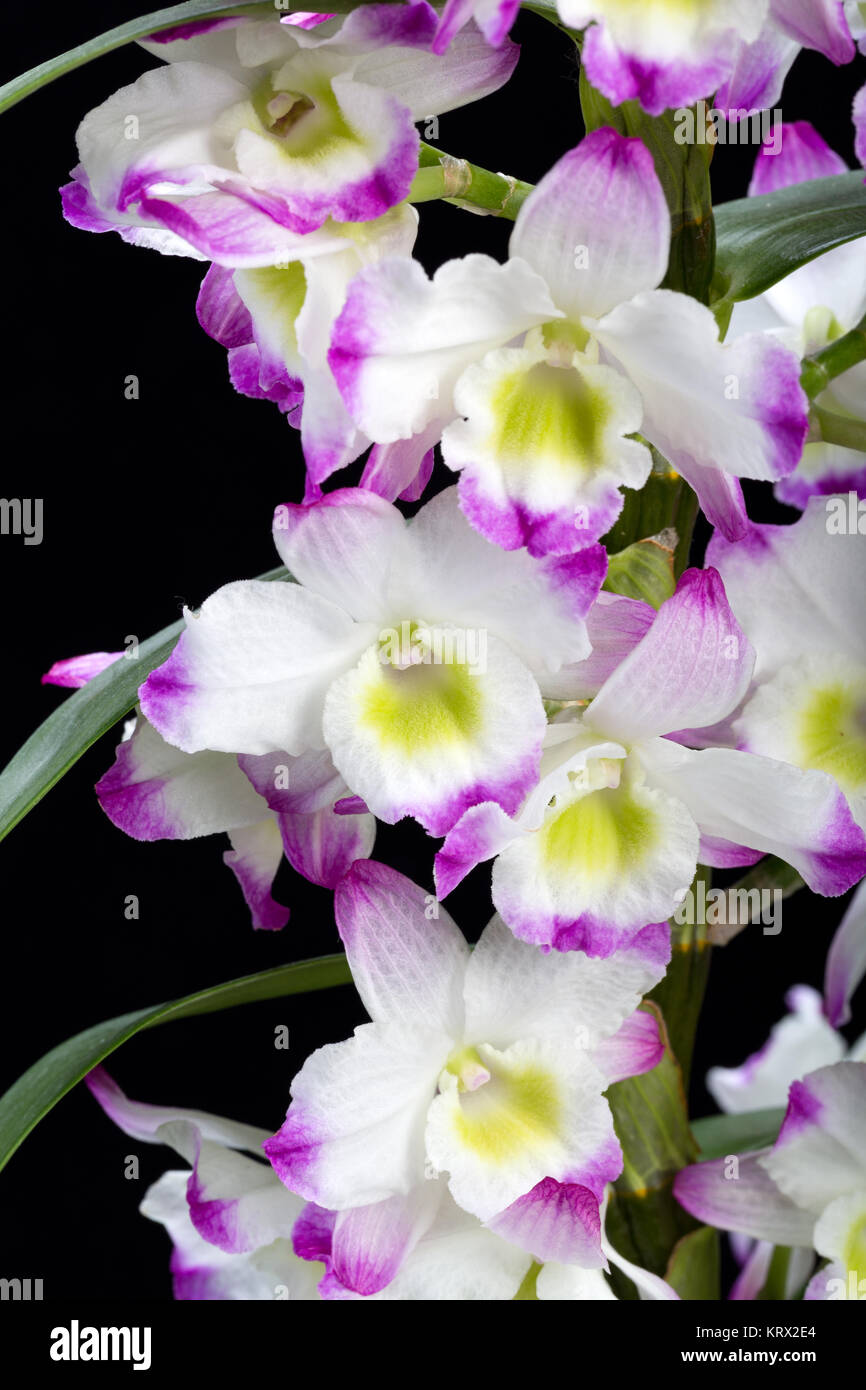 how to grow dendrobium nobile orchid