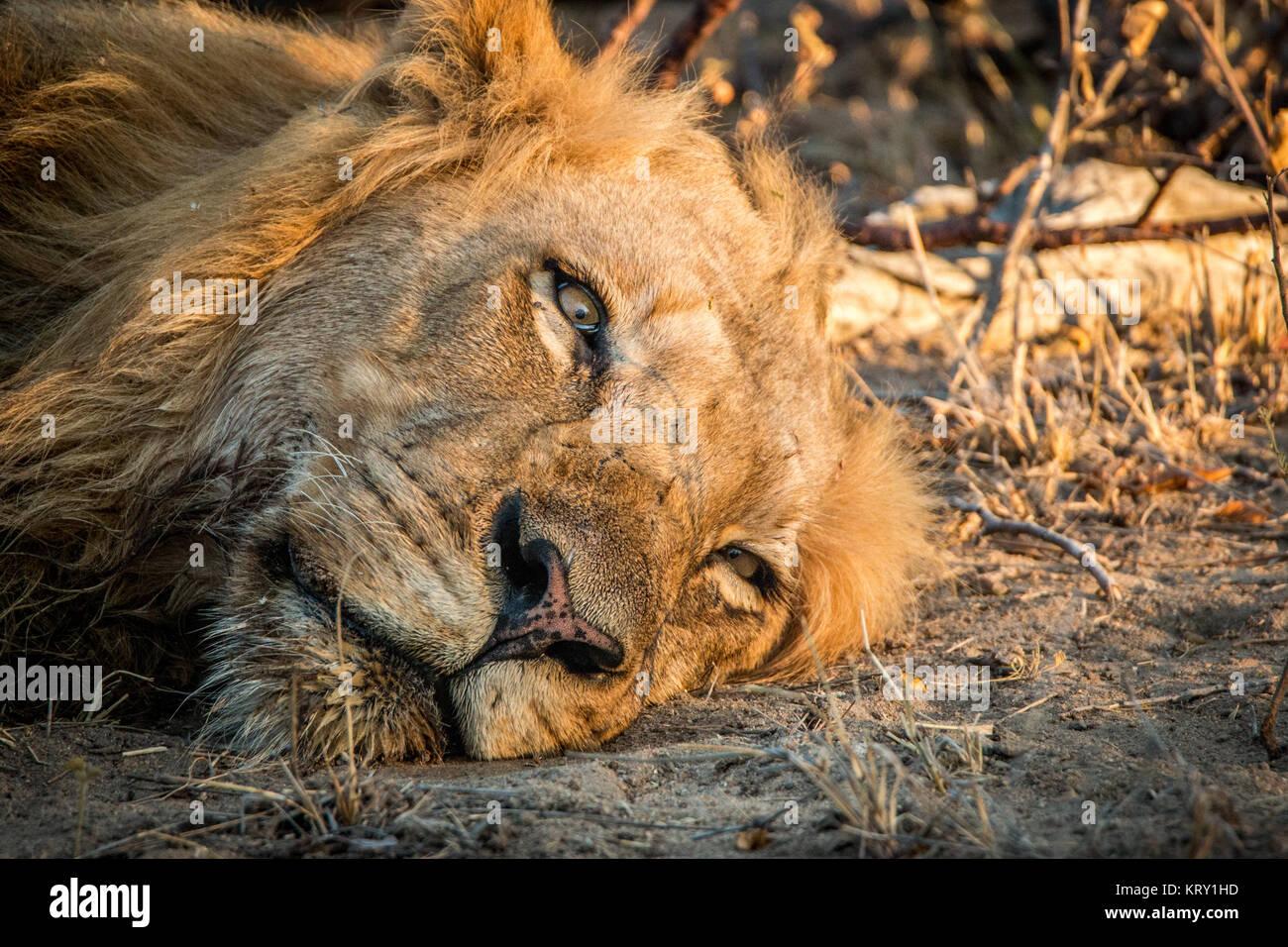 Domestic lion