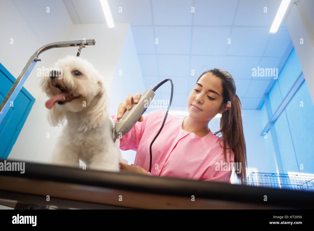 Young woman working in pet shop, trimming dog hair with clipper, girl grooming puppy for beauty in store. People, - Stock Image