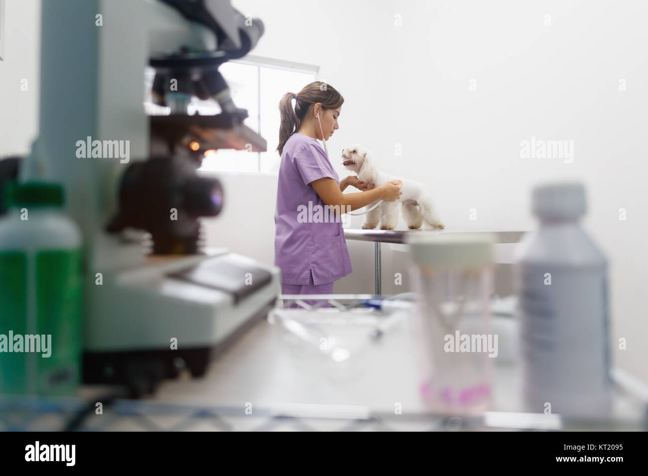 Young latina woman working as veterinary, vet during visit. Animal doctor visiting ill pet in clinic and checking - Stock Image