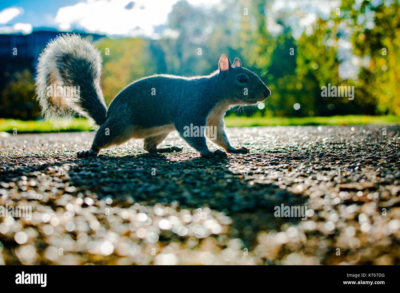 A fearless tree squirrel ventures on the road in summer - Stock Image