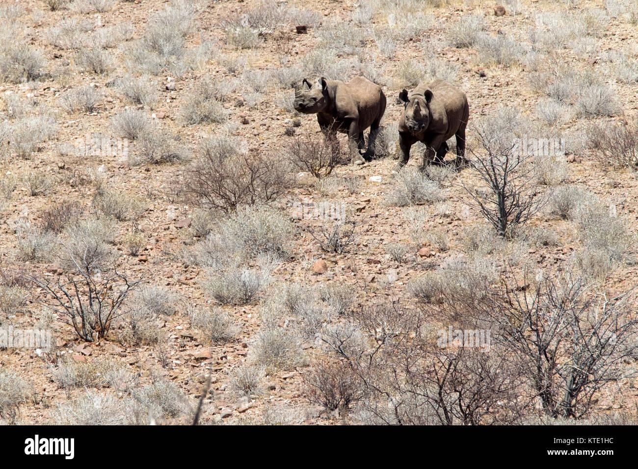 Black rhinoceros or hook-lipped rhinoceros (Diceros bicornis) at Huab Under Canvas, Damaraland, Namibia, Africa - Stock Image