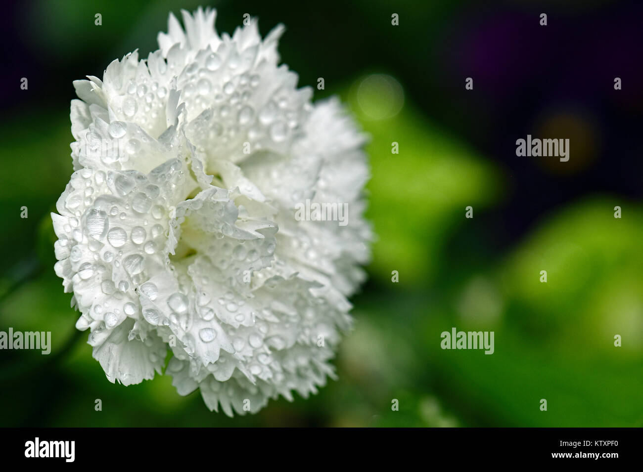 Flowers Of The World - Carnation - Stock Image