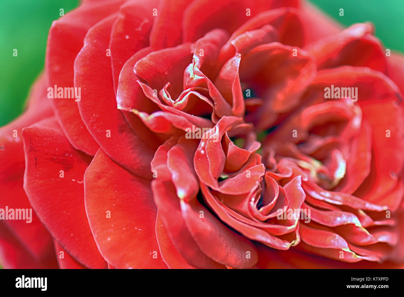 Roses - Flowers of the world - Stock Image