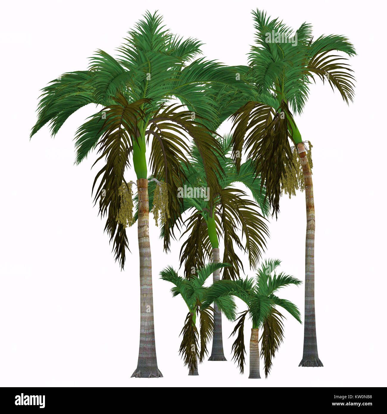 Alexander King Palm Trees - This tropical tree grows in the rainforest and is a palm native of Queensland, Australia. - Stock Image