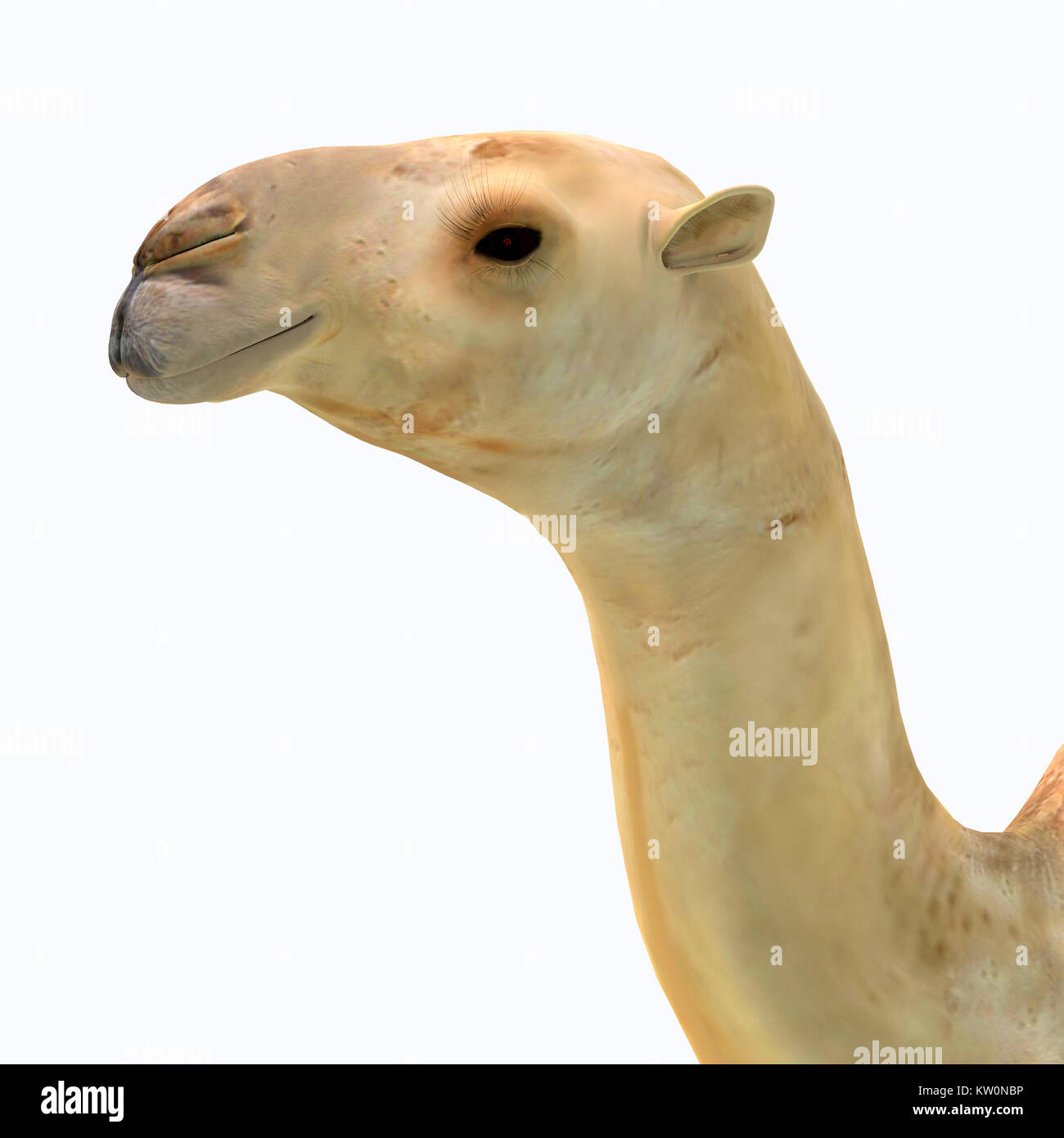 Camelops hesternus Head - Camelops was a camel-type herbivorous animal that lived in North America during the Pleistocene - Stock Image