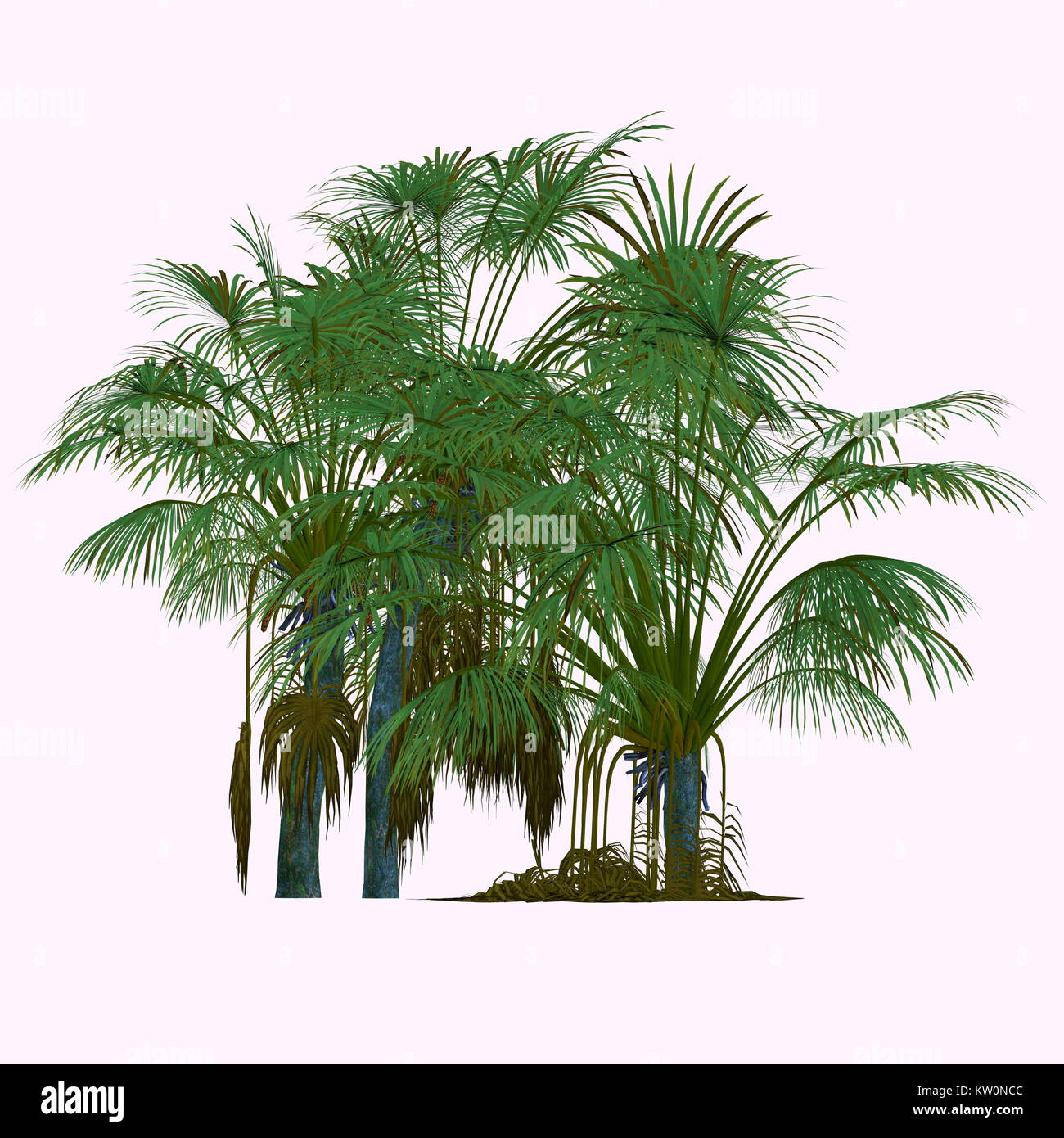 Coco de Mer Trees - This is a palm endemic to the islands of Praslin and Curieuse in the Seychelles and is the sole - Stock Image