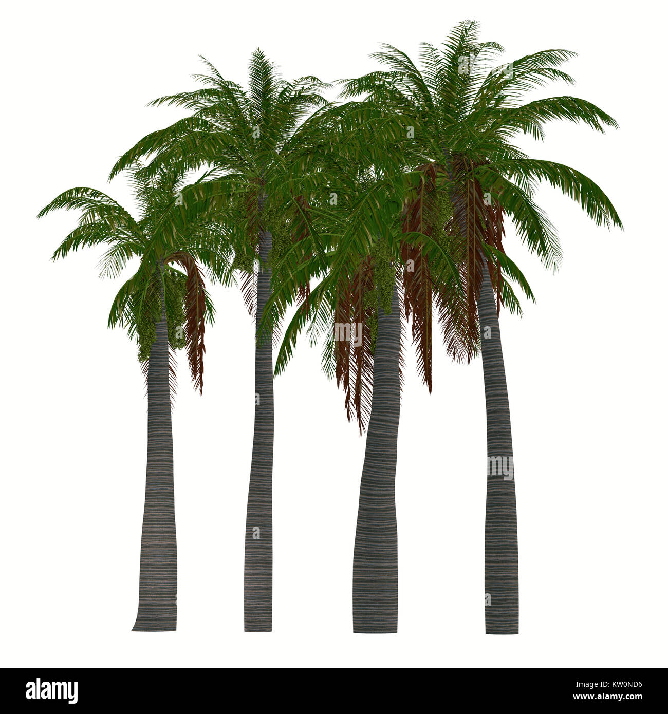 Ravenea musicalis Trees - This tree is a species of flowering plant in the Arecaceae family found only in Madagascar. - Stock Image