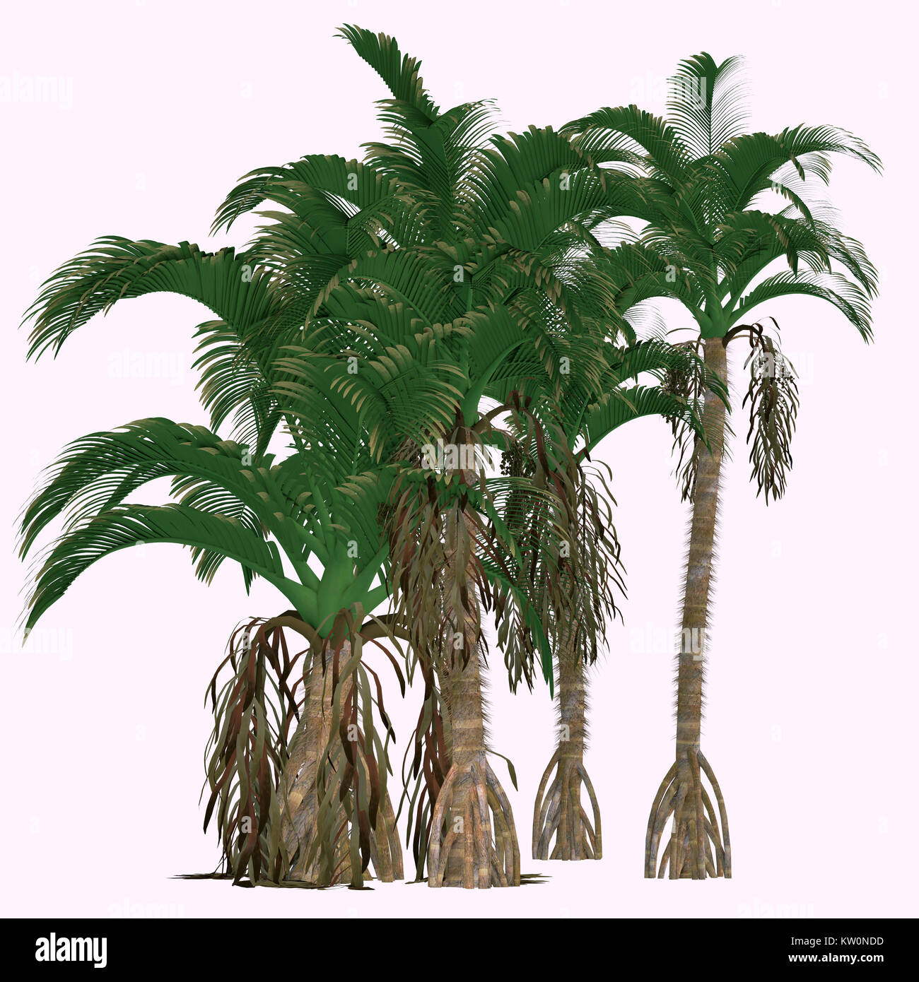 Verschaffeltia splendida Trees - This is a flowering palm endemic in the Seychelles and is a member of the genus - Stock Image