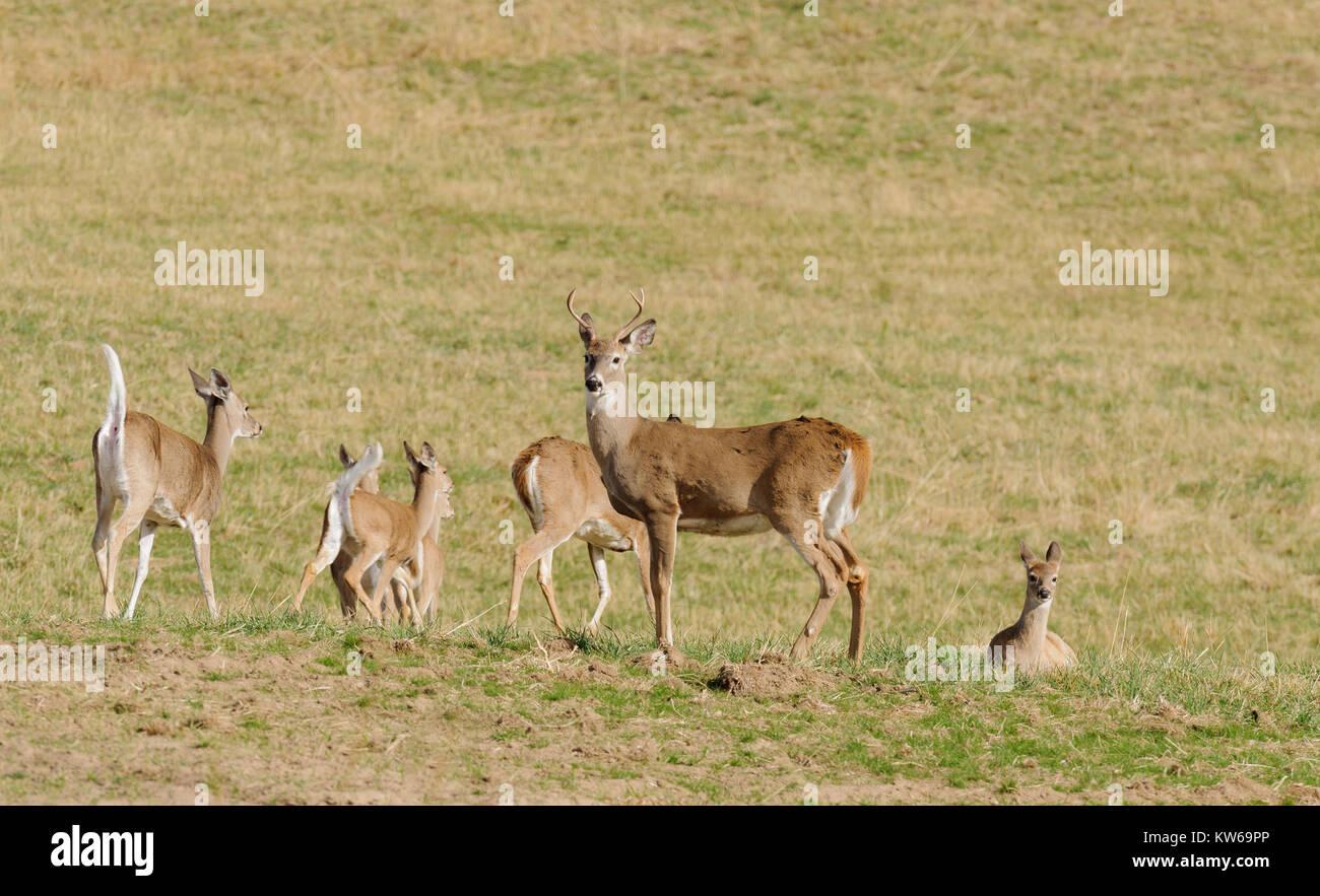 White tailed deer running