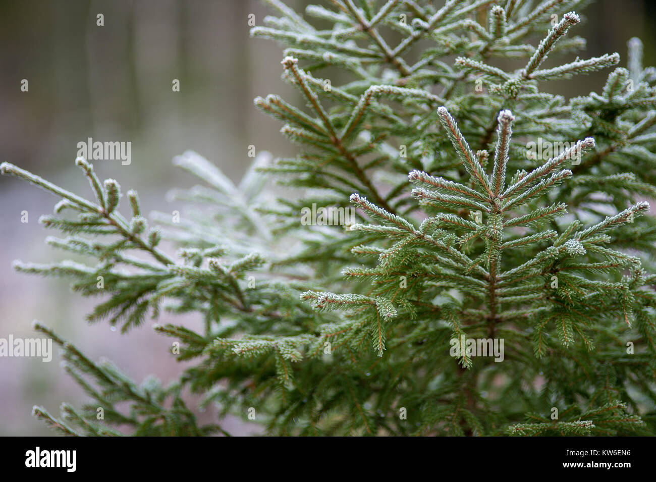 Spruce in a wintry Sweden. - Stock Image