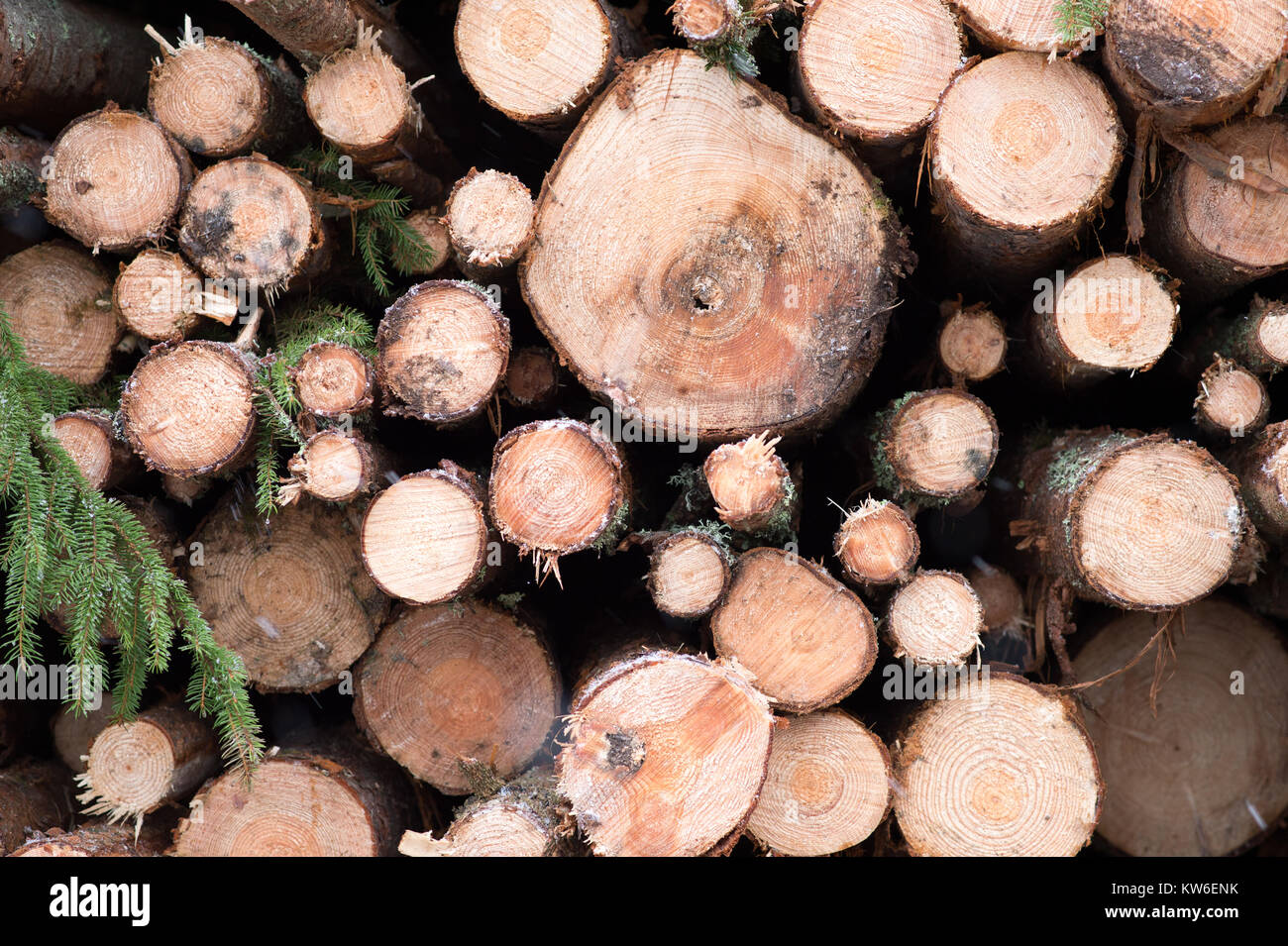 Harvested timber in a snowy Swedish forest. - Stock Image