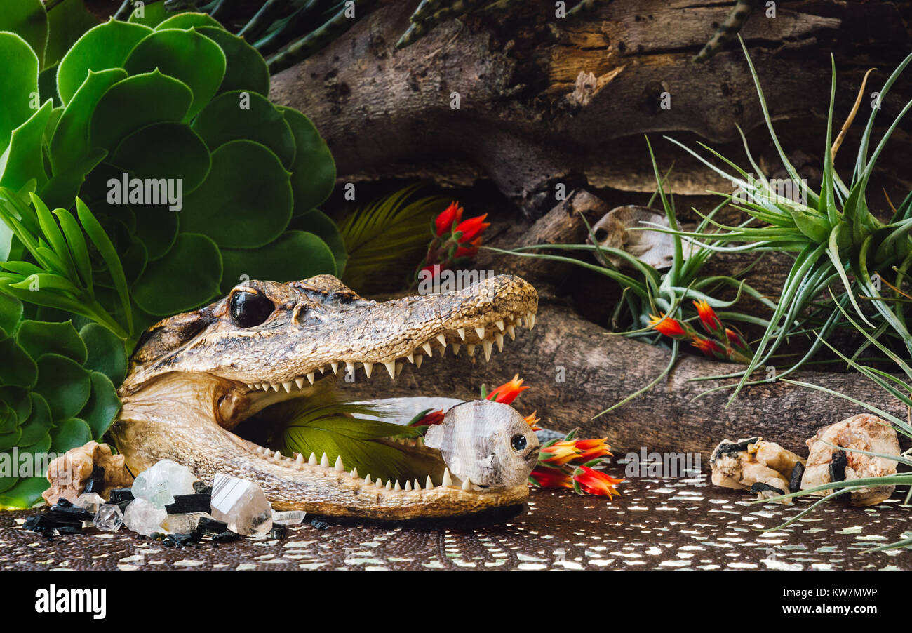 Taxidermy Alligator and Fish with Crystals and Succulents - Stock Image
