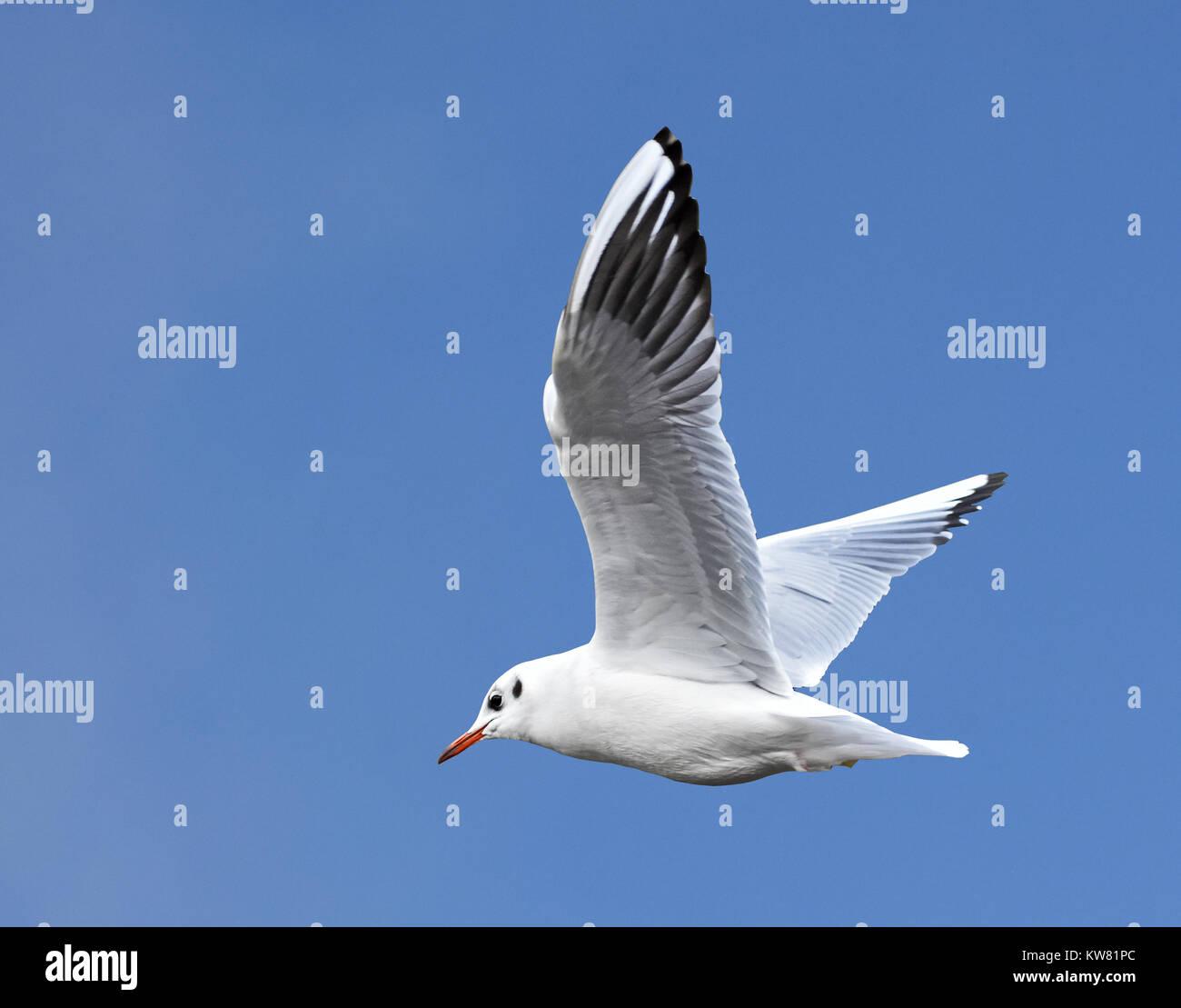 Black-headed Gull Larus ridibundus in flight in winter plumage agains a clear blue sky - Stock Image