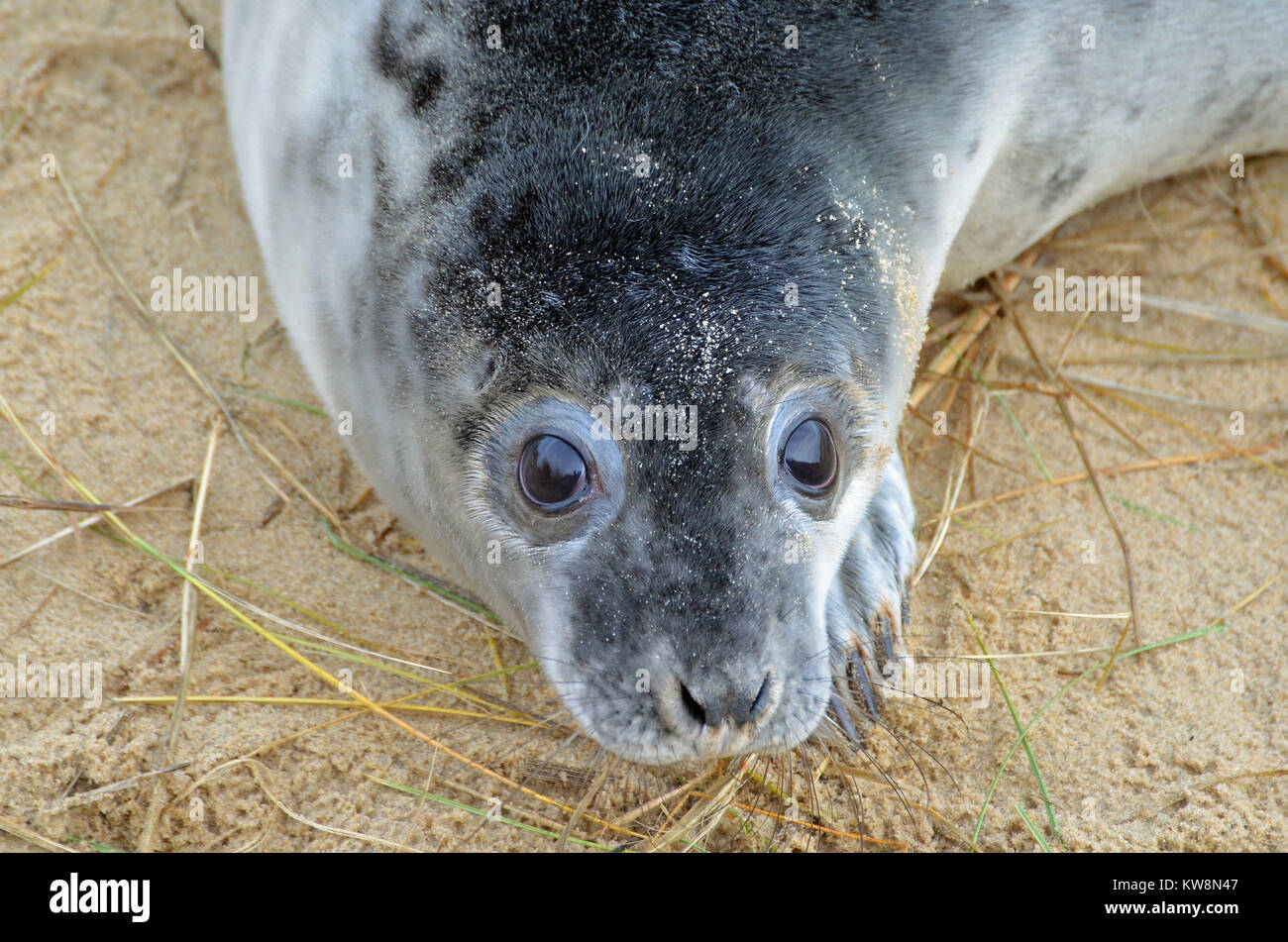 A young seal pup on Horsey Beach, North Norfolk, UK on New Year's Eve Stock Photo