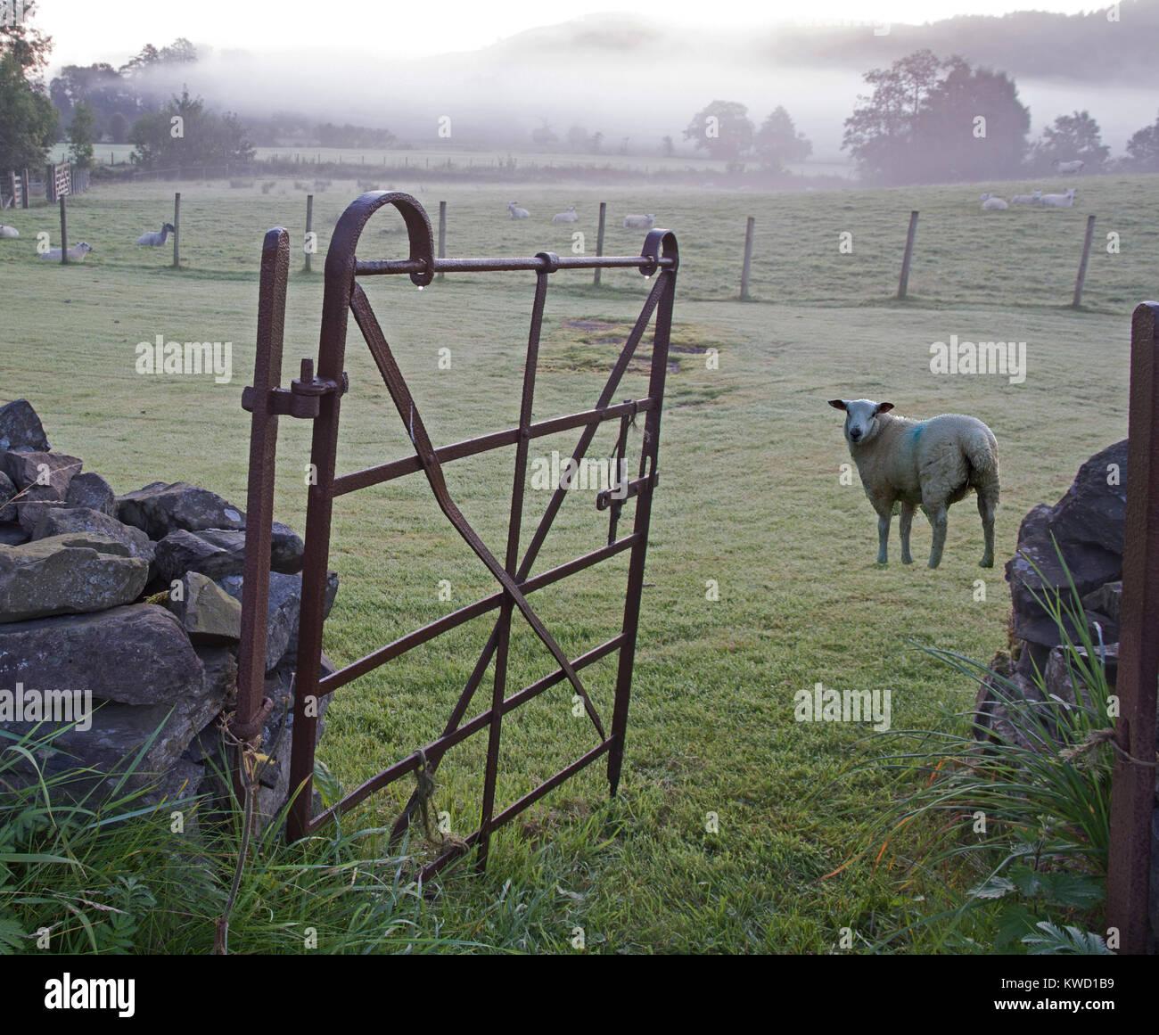 Misty morning on Hawkshead Hall Farm with open five barred metal gate and sheep in heavy dew near Hawkshead Cumbria - Stock Image