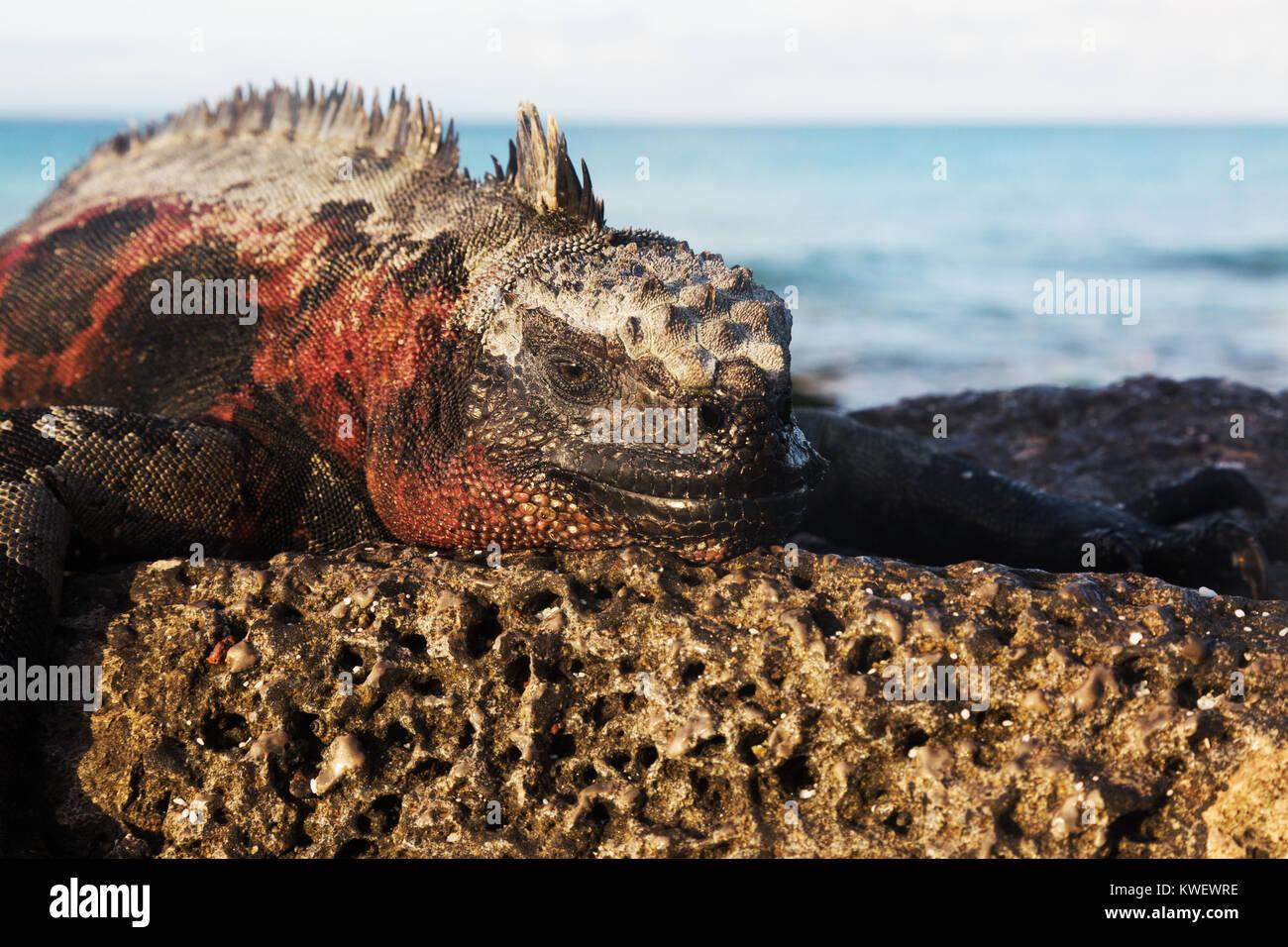 marine-iguana-amblyrhynchus-cristatus-ma