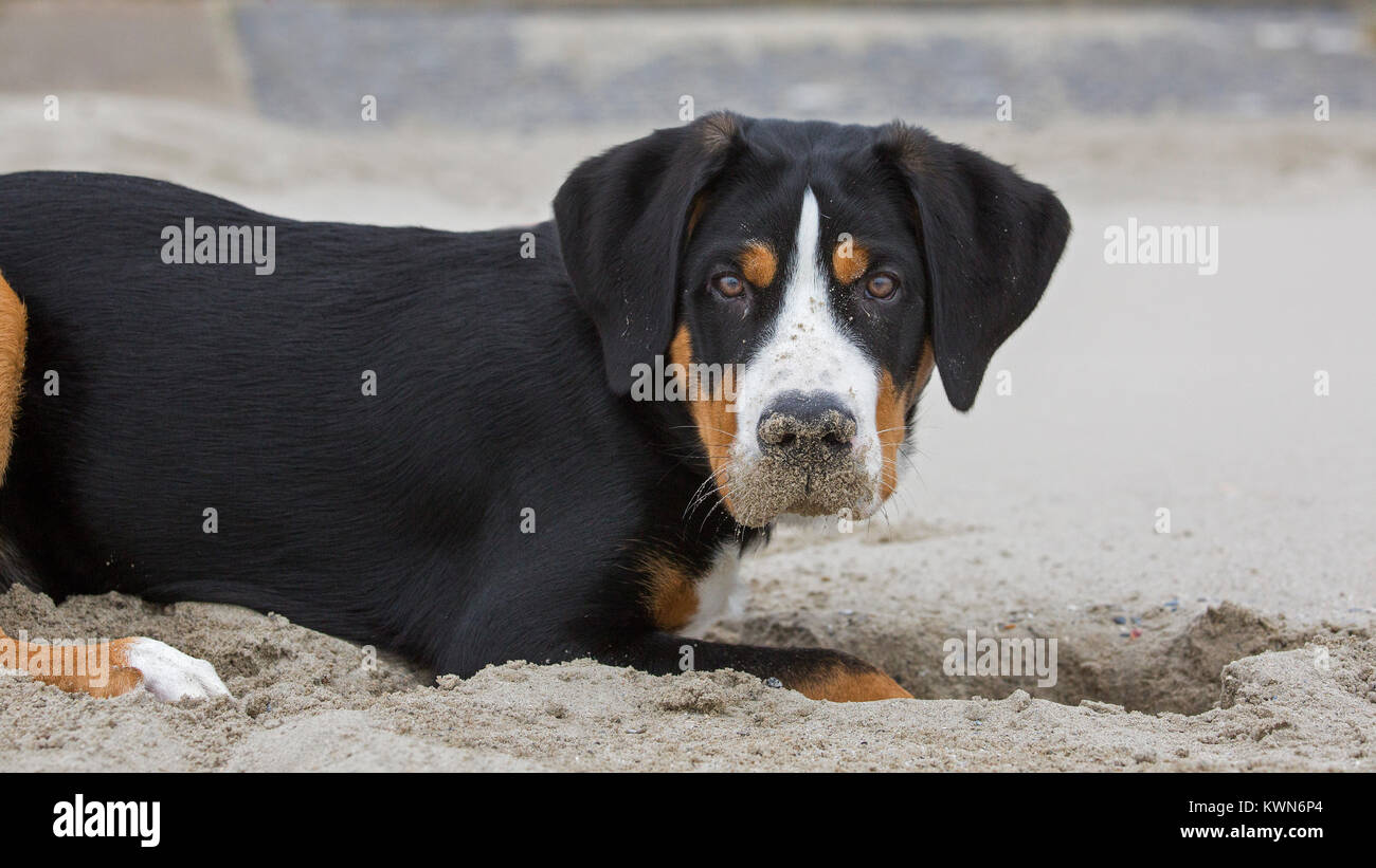 Young Greater Swiss Mountain Dog / Grosser Schweizer Sennenhund digging a hole in sand of sandy beach along the - Stock Image