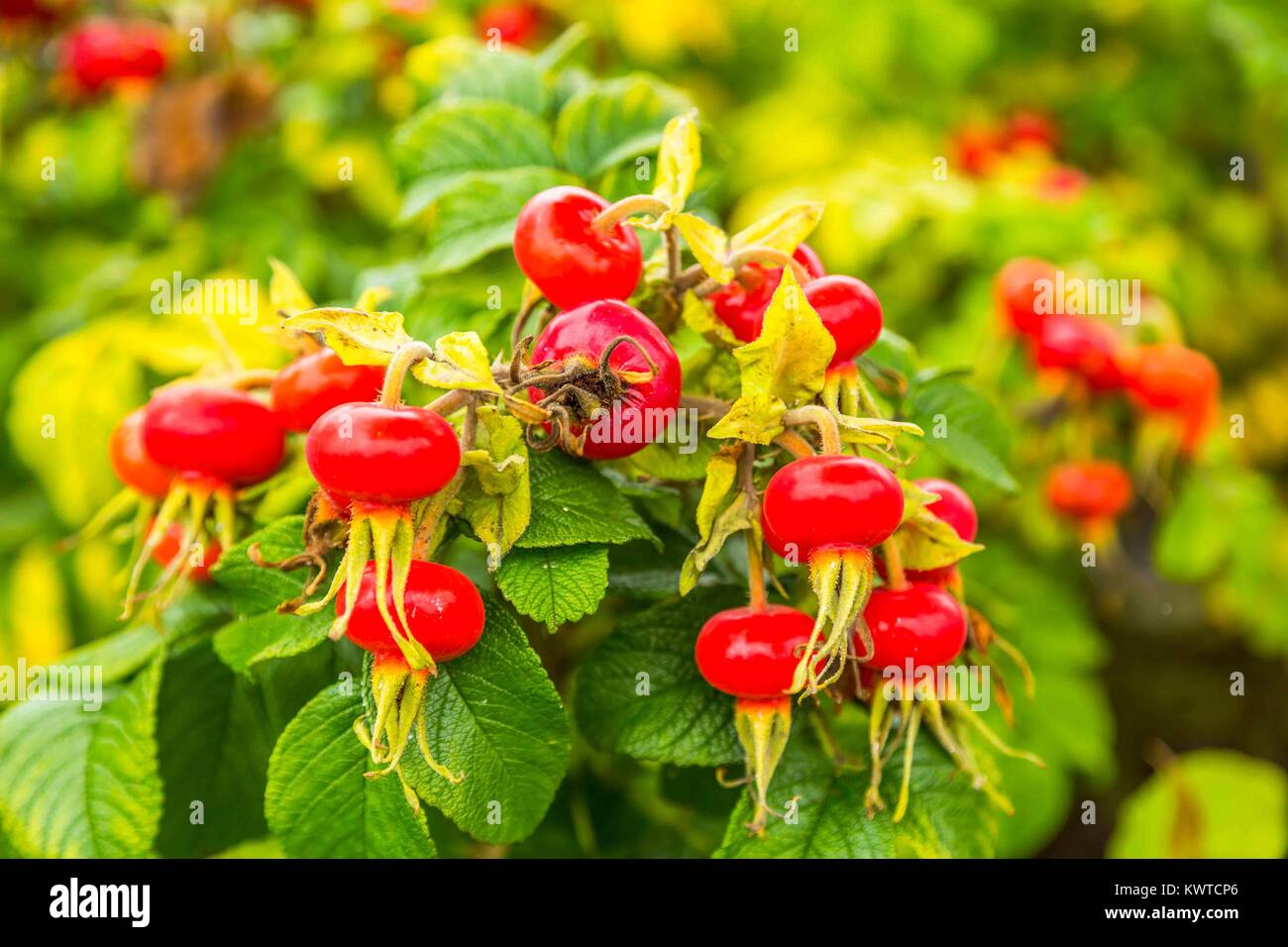 Bunch of rosy red rose hips in a cluster. - Stock Image
